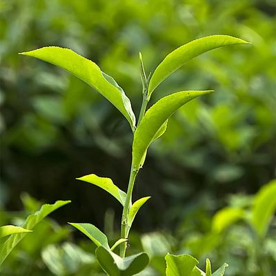 مشحصات دارویی چایی سبز