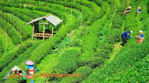 مزارع کشت چای خالص کیسه ای 160 عددی نیوشا